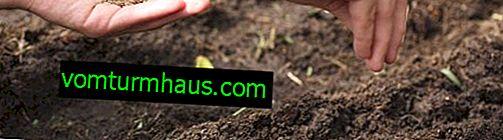 Jak zasadit mrkev, aby nedošlo k ztenčení?