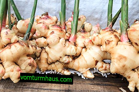 How to grow ginger in the middle lane