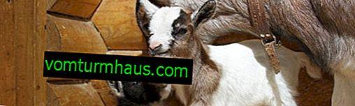 Камерунські карликові кози