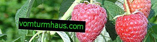 Raspberry Zeva (tutimer): funktioner i sorten, landbrugsteknologi
