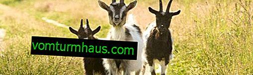 Як правильно годувати козу взимку: складання раціону, основні правила