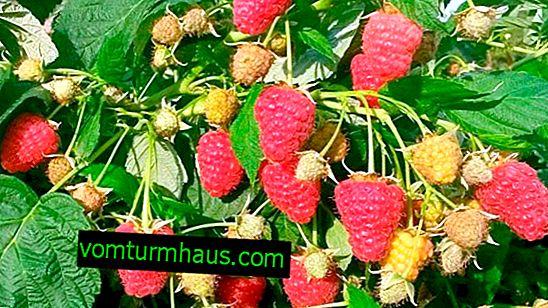 Raspberry Tulamin: fordele og ulemper ved sorten, reglerne for pleje, produktivitet