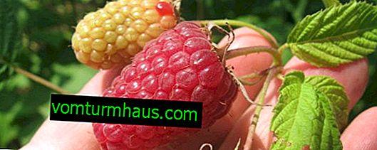 Raspberry Hat Monomakh: fördelar och nackdelar med variationen, reglerna för vård