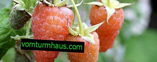 Hallonvarianter Orange Miracle: karakteristiska funktioner, jordbruksteknologi