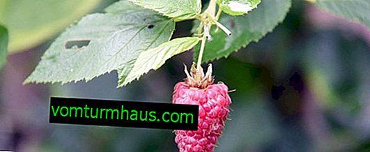 Kompatibilnost malina s drugim biljkama, s kojima ne možete saditi