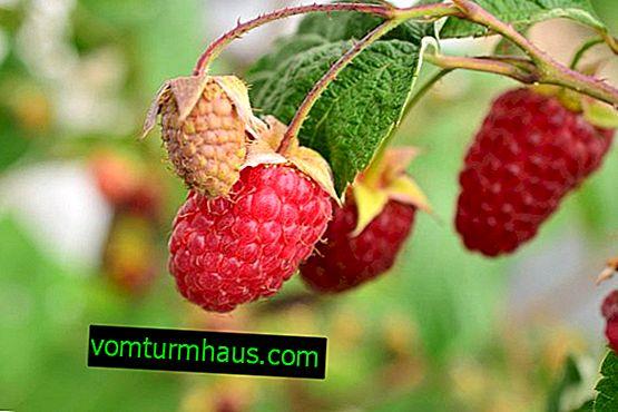 Bryansk divo - raznolika plodna uklonjena malina: sadnja i njega, produktivnost