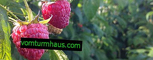 Raspberry Polana - en reparationssort, dess fördelar och nackdelar