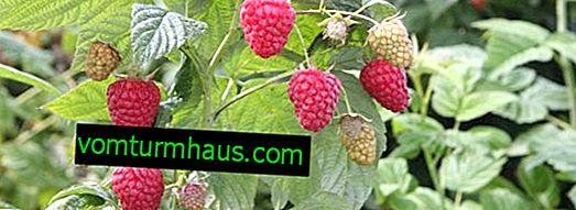 Zyugan opravuje maliny: časovač odrůdy, výnos z keře