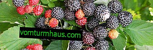 Raspberry Cumberland: czarny i żółty, jego korzystne właściwości