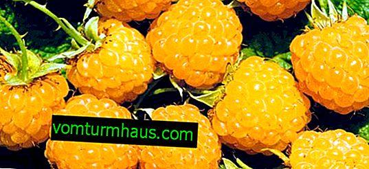 Storfruktet hindbærsort Gul gigant: funktioner i dyrkning, produktivitet