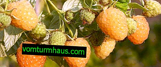 Himbeer Goldener Herbst: Eigenschaften, Merkmale des Anbaus