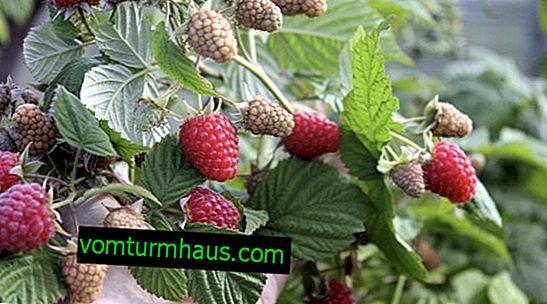 Raspberry Galaxy: egenskaber, funktioner ved dyrkning