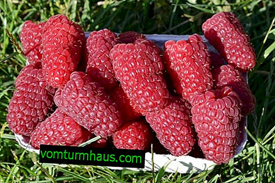 Raspberry Izobilnaya - mid-season non-bearing variety: description