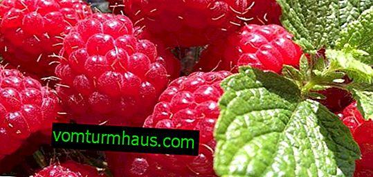 Großfruchtige Polka-Himbeer-Reparatur: Anbaumerkmale