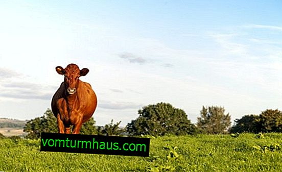 Krasnogorbatovskaya krava: opis, njega i hranjenje