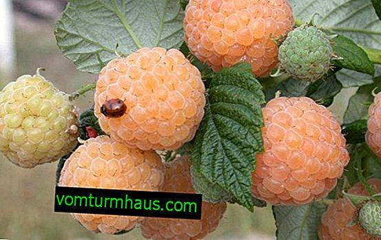 Raspberry Porana dug (morgen dug): fordele og ulemper ved sorten, reglerne for pleje