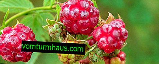 Hindbær med vilde skove: en botanisk beskrivelse, anvendelse
