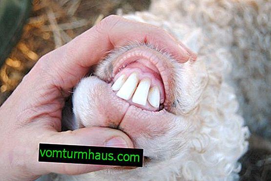 Metode za određivanje starosti ovaca i ovčjih zuba