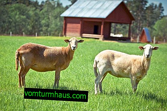 Katumsky smooth-haired sheep: description, advantages and disadvantages of the breed