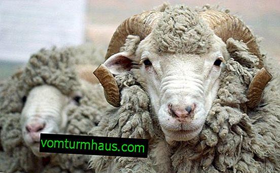 Pasma ovc Karakul: značilnosti, opis