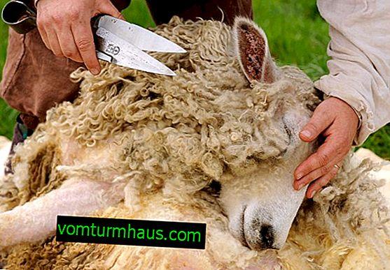 Funktioner ved manuel klippning af får: generelle regler for valg af saks