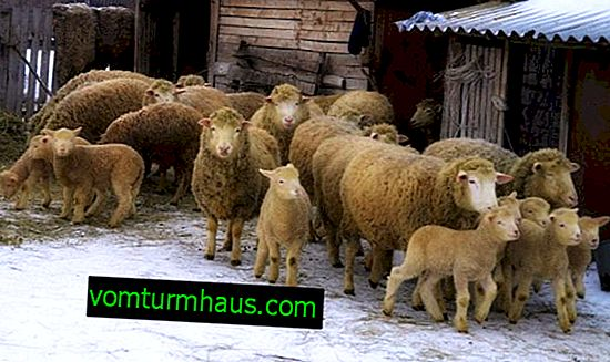Kuibyshev sheep and sheep: description and characteristics of the breed