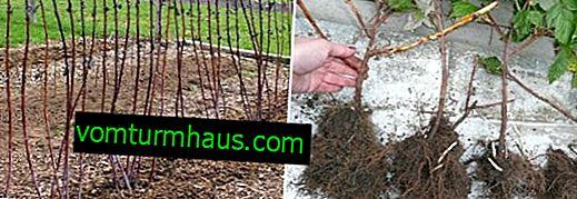 Almacenamiento adecuado de plántulas de frambuesa hasta la primavera en casa