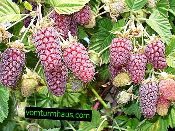 Loganberry raspberry-blackberry hybrid: vlastnosti, vlastnosti zemědělské technologie