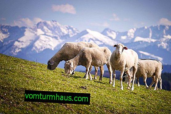 Cómo pastar ovejas: tiempo, estándares y técnica