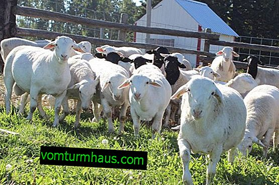 Dorper di razza ovina: caratteristiche della razza, descrizione