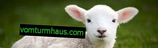 Lammet: vars kub, intressanta fakta