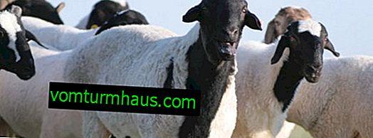 Oveja de cola gorda Kalmyk: características principales