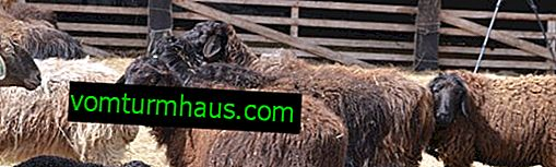 Description, features and breeding of the Edilbayev breed of sheep