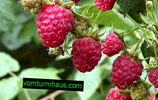 What raspberries should be planted: remontant or ordinary, how to determine the difference