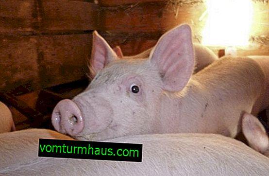 Russische weiße Schweinezucht