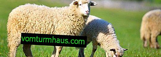 Uporaba cepiv proti drobnici ovc in koz, navodila