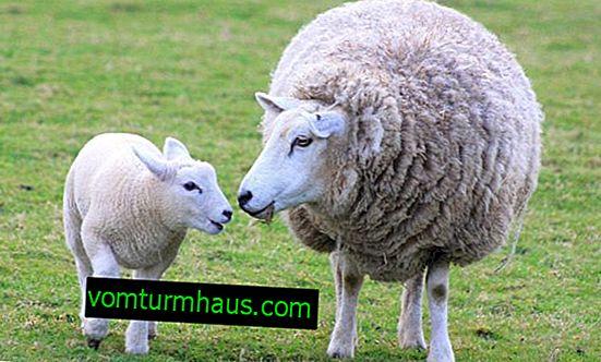 Hur man avlar får på rätt sätt: puberteten och en cykel hos får, en parning, hur man får reda på när ett får jagar