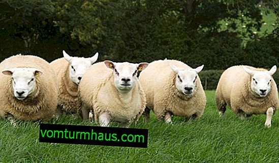 Texel sheep: description, origin, breeding