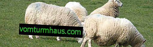 Swag (drægtige) får: hvor mange lam der kan være i et lam, hyppighed af koagulation