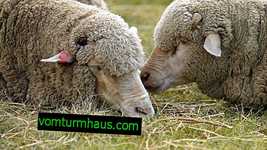 Causes of sheep diarrhea, treatment and prevention