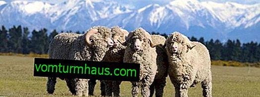 Ovce Merino: důstojnost plemene, péče, hodnota vlny