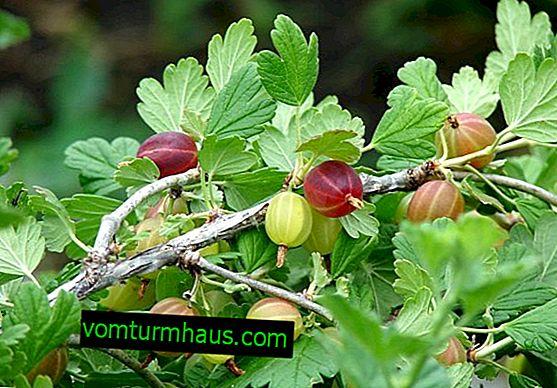 Jordens surhedsgrad til plantning af stikkelsbær