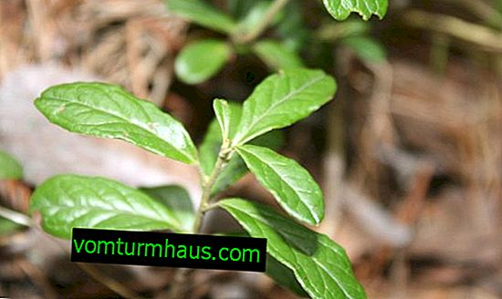 Indsamling og høst af lingonberry blade derhjemme
