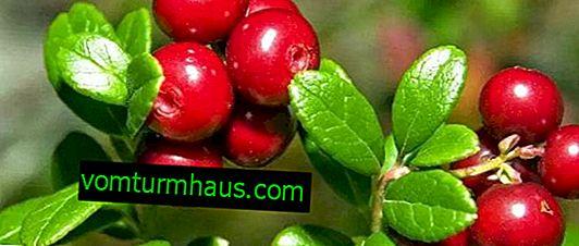 Използването на червени боровинки при лечението на отоци