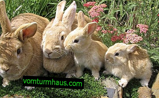 Perché il coniglio lancia i conigli subito dopo il coniglio?