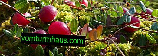 Hur och var växer tranbäret