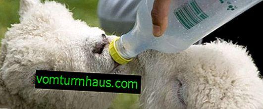 Fodring af et lam derhjemme: nyfødte lam, vitamintilskud, fodringsbord efter alder