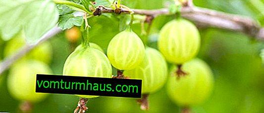 Гроздова беларуска захар: характеристики, особености на отглеждане и размножаване