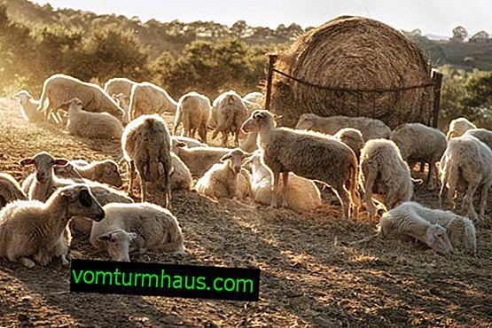 Elevage de moutons dans le monde