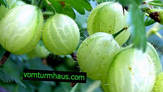 Stikkelsbær Donetsk: egenskaber, funktioner ved dyrkning og reproduktion